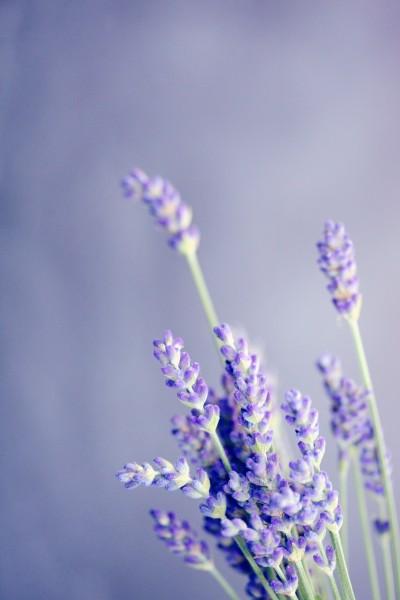 Lavendel, getr. - lavandula angustifolia, Teeerzeugnis